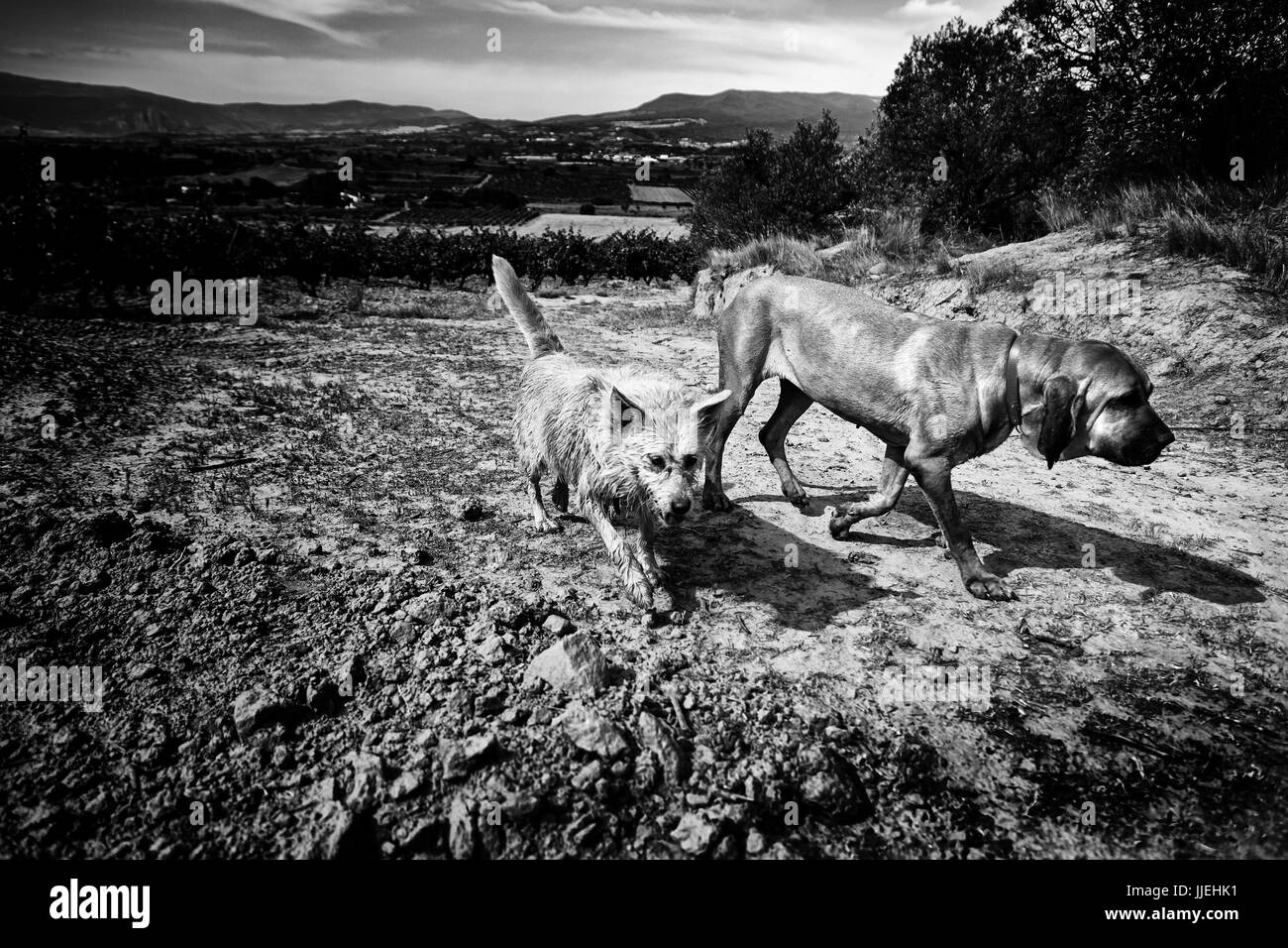 Two dogs running and enjoying in nature, detail of animals in the field - Stock Image