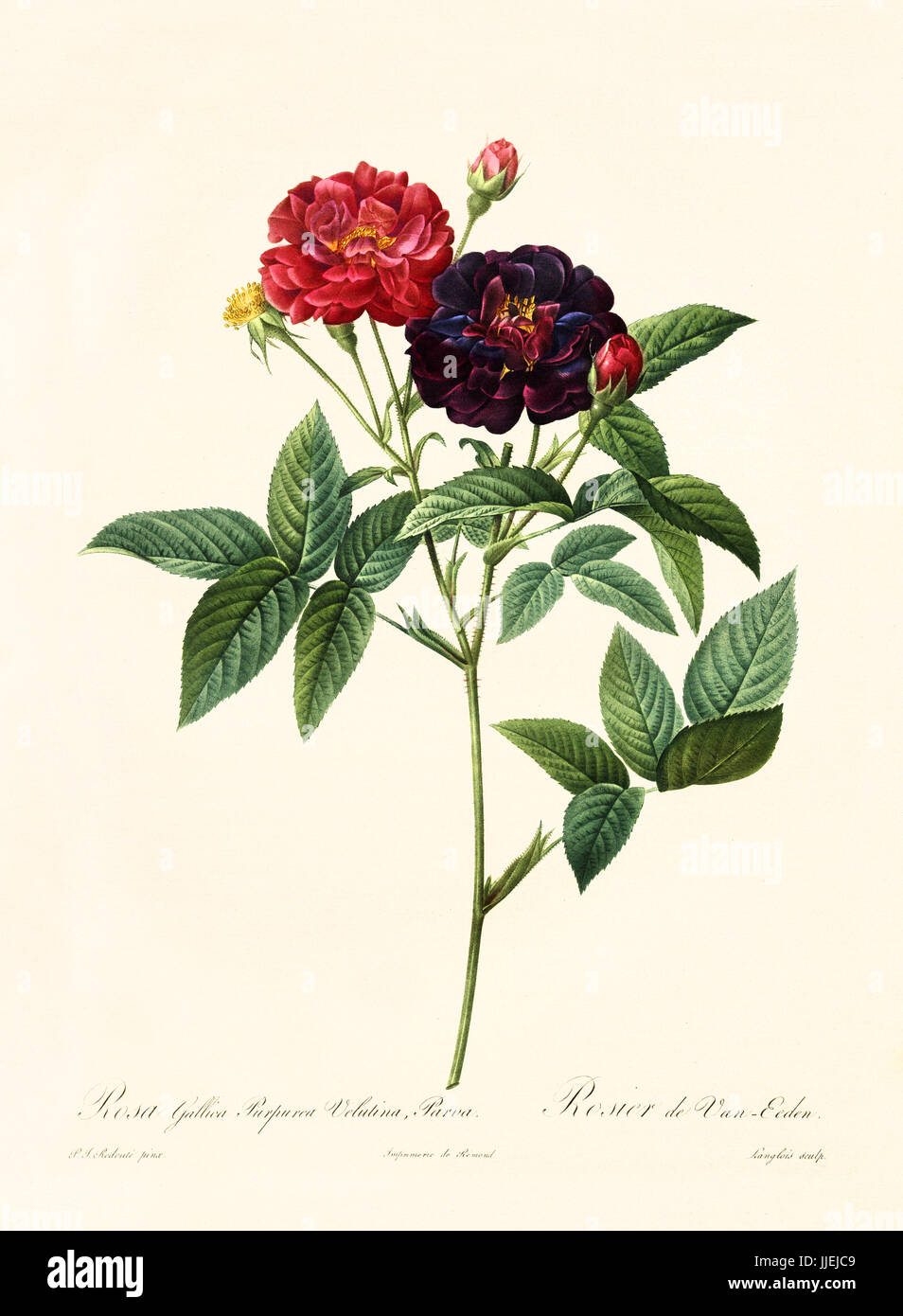 Old illustration of Rosa gallica purpurea velutina parva. Created by P. R. Redoute, published on Les Roses, Imp. - Stock Image