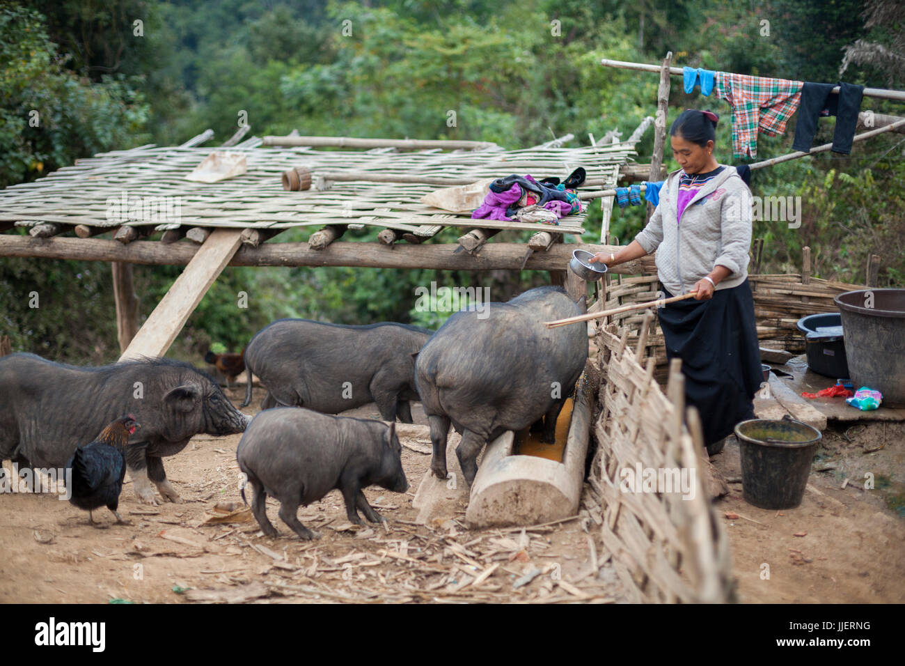 A woman feeds food scraps to her pigs outside her home in Ban Sop Kha, Laos. - Stock Image