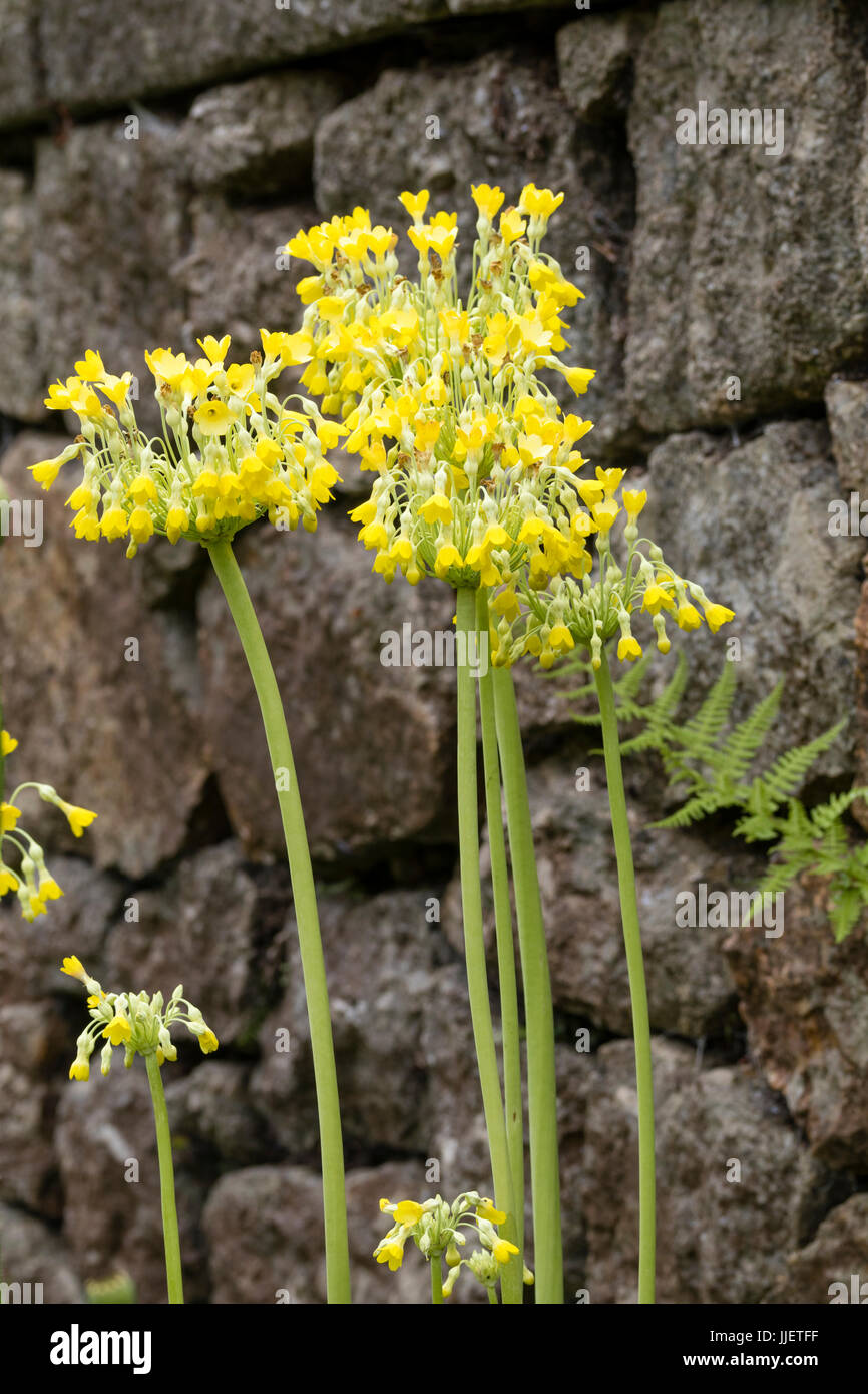 Yellow flowers hanging from the stems of the giant cowslip, Primula florindae Stock Photo