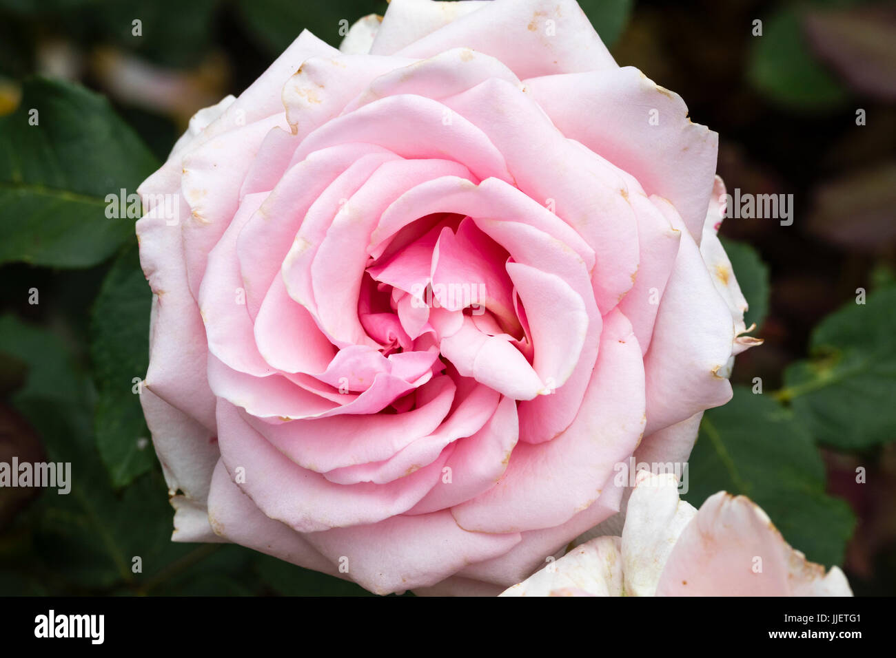 Fully double pink flower of the hybrid tea rose, Rosa 'Savoy Hotel' - Stock Image