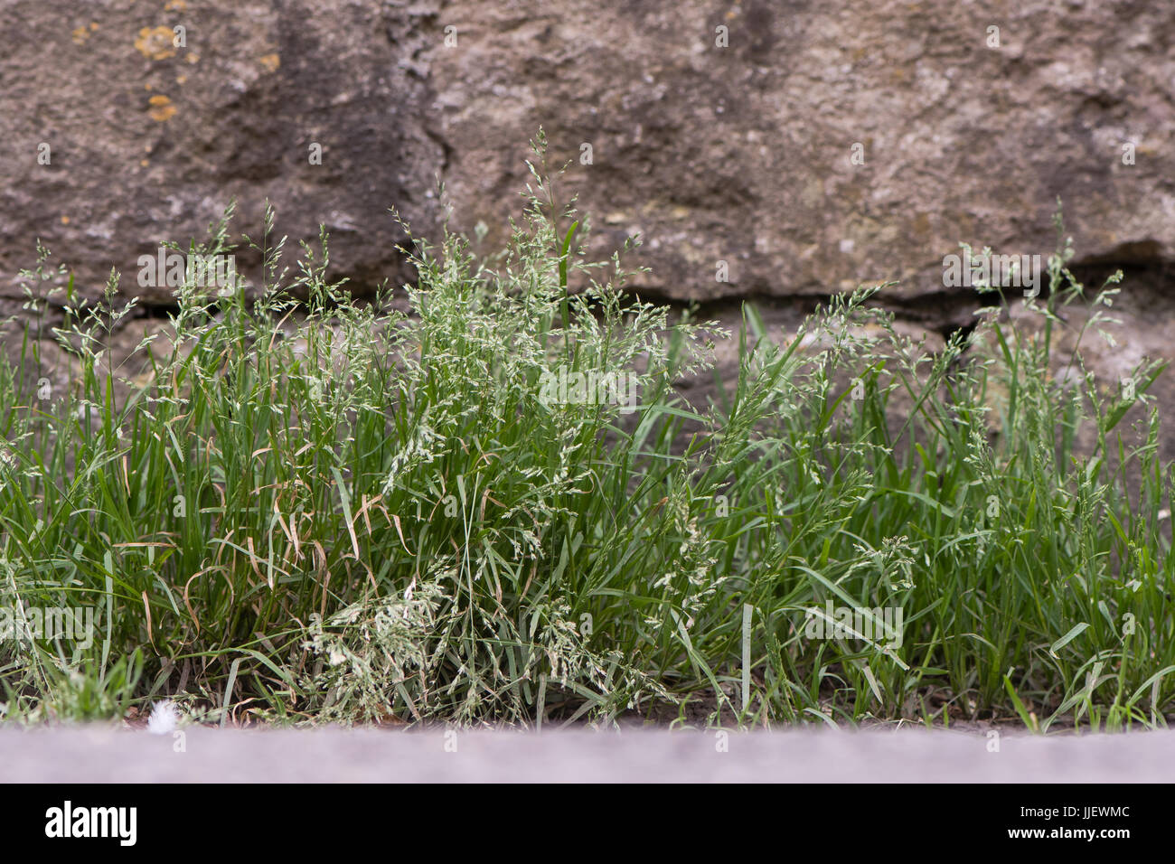 Annual meadow-grass (Poa annua) plants in flower. Abundant sprawling grass in the family Poaceae flowering against - Stock Image