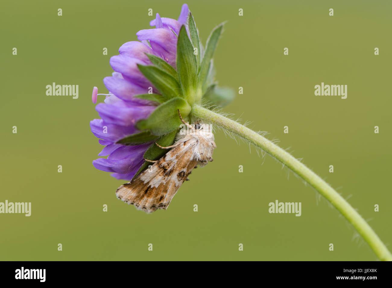Dusky sallow moth (Eremobia ochroleuca) on flower. British moth in the family Noctuidae, at rest on devil's - Stock Image