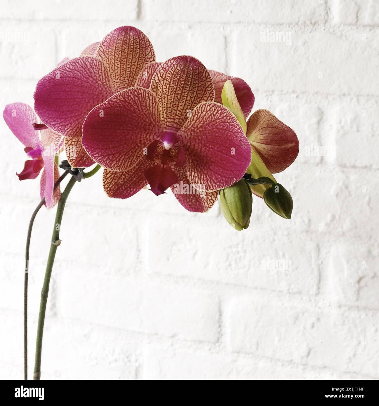 Orchid flowers against white brick wall Stock Photo
