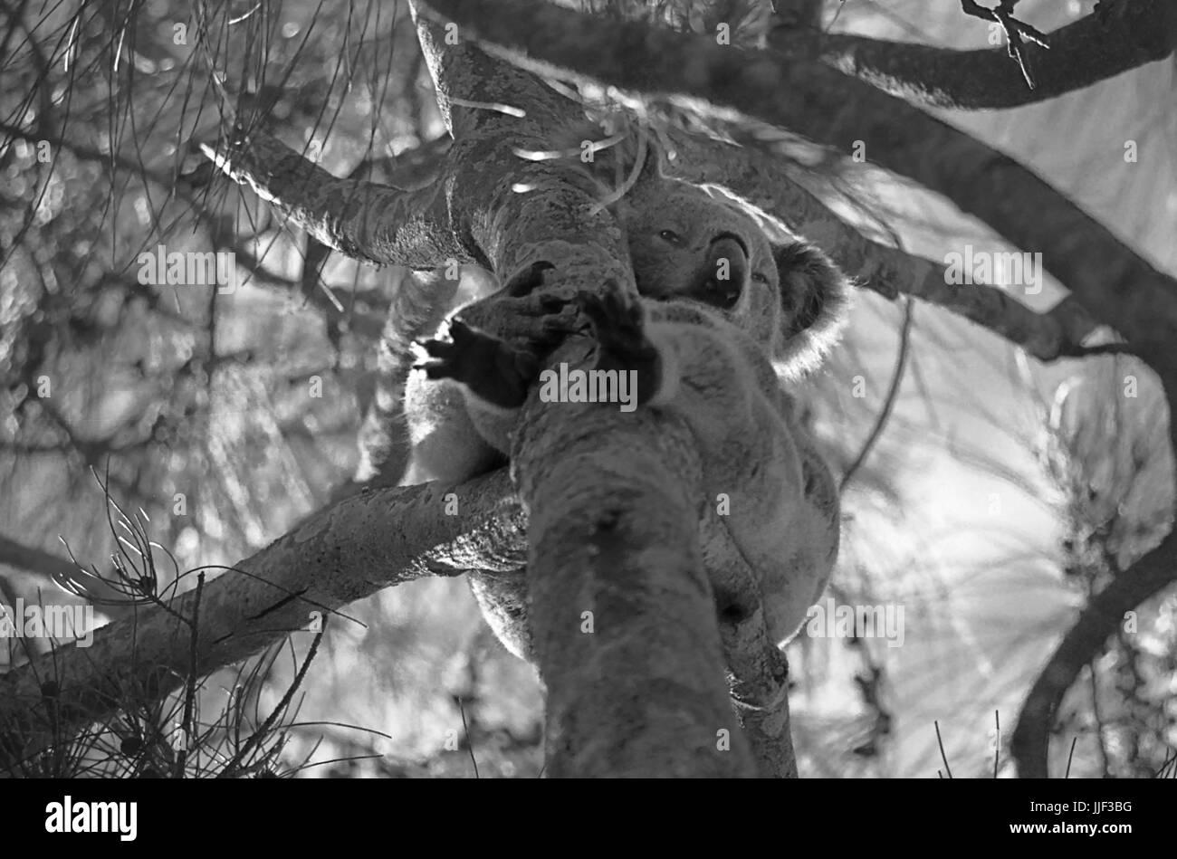 Koala (Phascolarctos cinereus) sitting on a branch of a eucalypt, Lemon Tree Passage, Port Stephens, NSW, Australia: - Stock Image