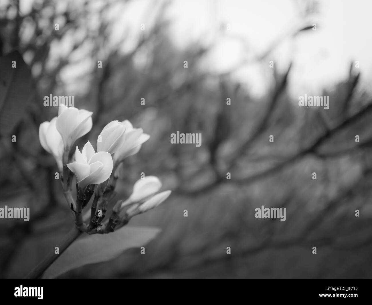 beautiful flower in black and white tone - Stock Image