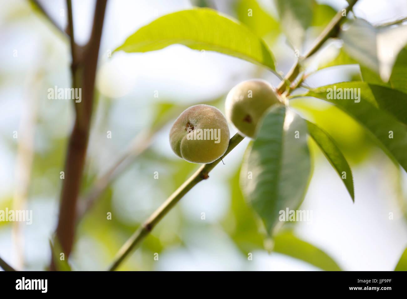 Prunus persica - Peach Stark Saturn - Stock Image
