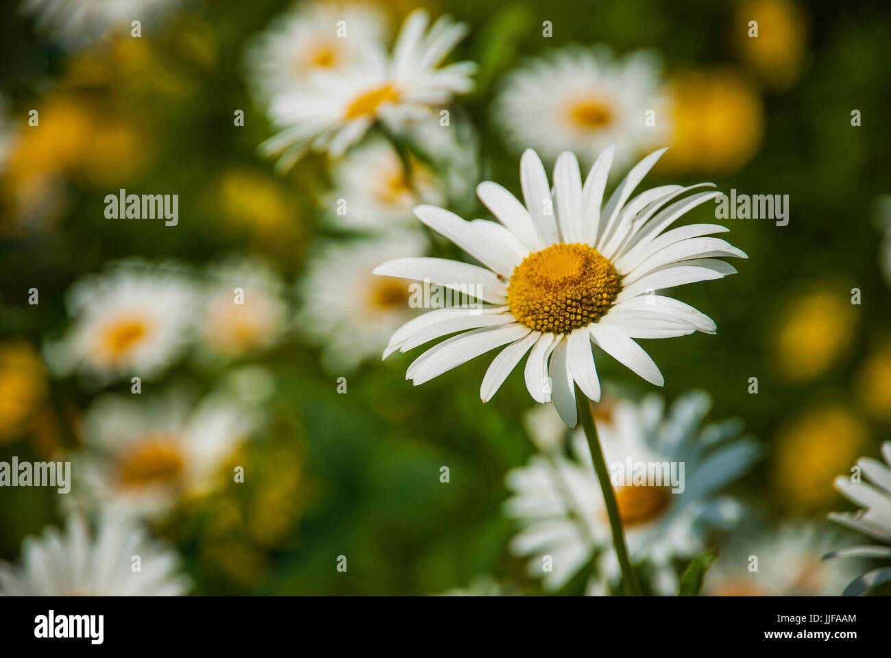 Wild daisies flowers stock photo 149084172 alamy wild daisies flowers izmirmasajfo