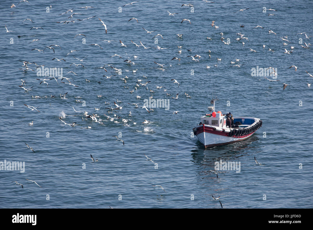 Gannets (Morus bassanus) plunge diving off the east coast of Yorkshire as photographers take pictures from pleasure - Stock Image