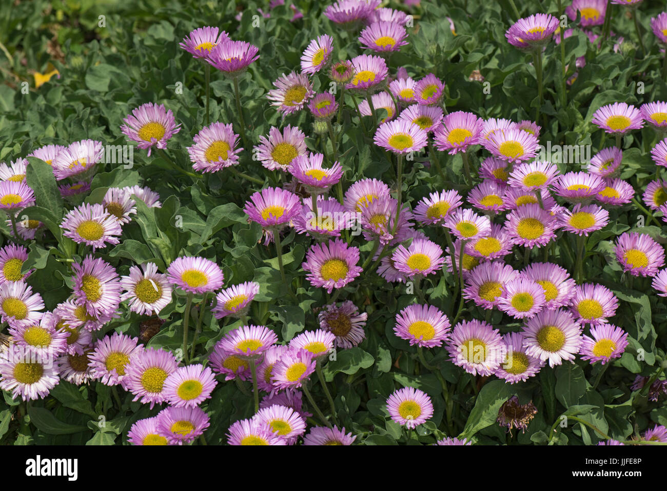 Pink flowers with yellow centres set against green leaves of this prostrate, spreading, rockery alpine plant, Erigeron - Stock Image