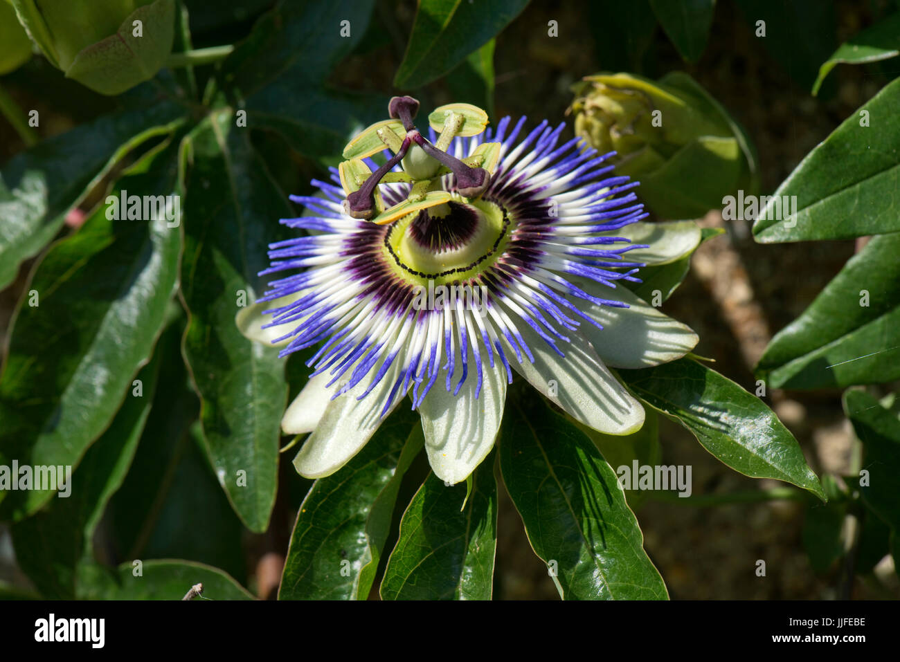 Blue passion flower, Passiflora caerulea, fully open and demonstrate several symbols of Christian belief from which - Stock Image