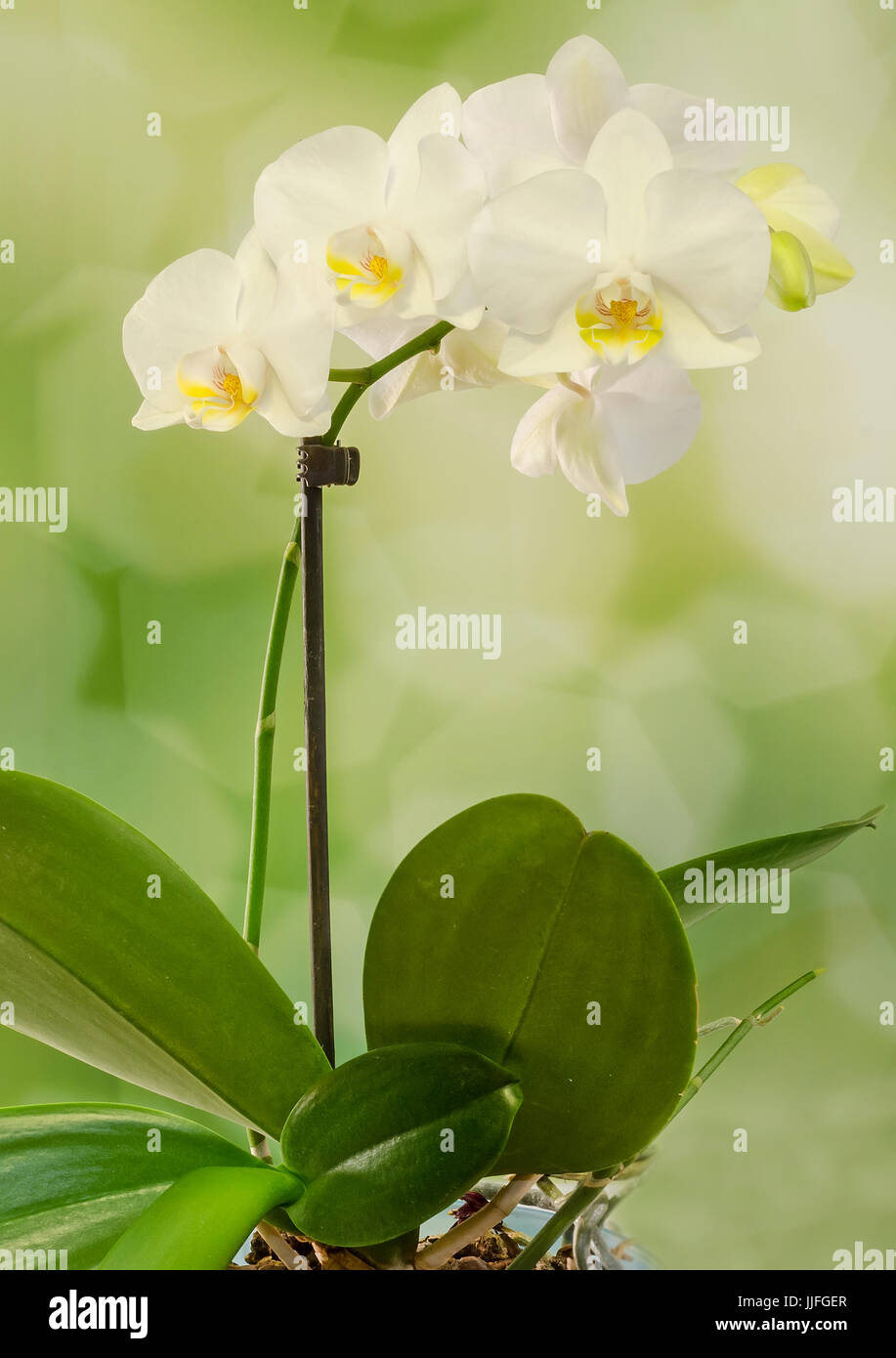 White Branch Orchid Flowers With Green Leaves Orchidaceae Stock