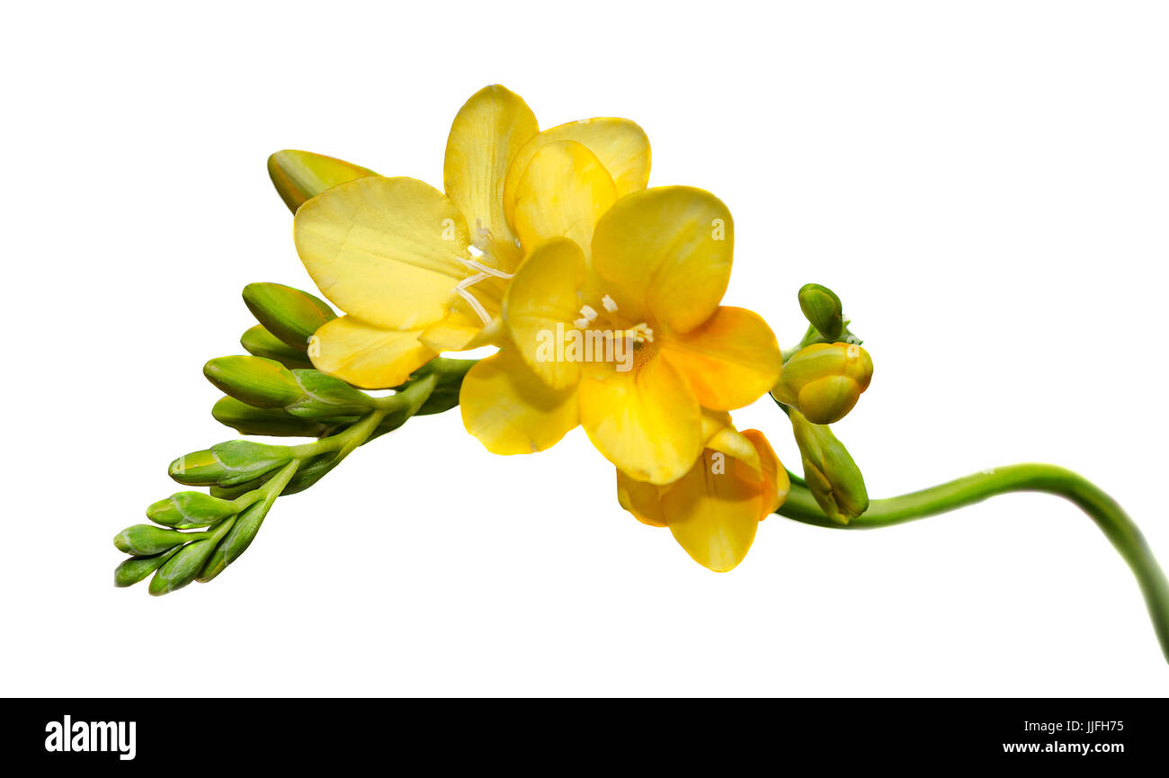 Yellow Freesia Flower Close Up Isolated White Background Stock