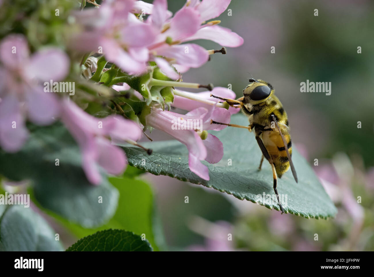 Hoverfly nectaring on Escallonia 'Pink Elle'. Uk - Stock Image