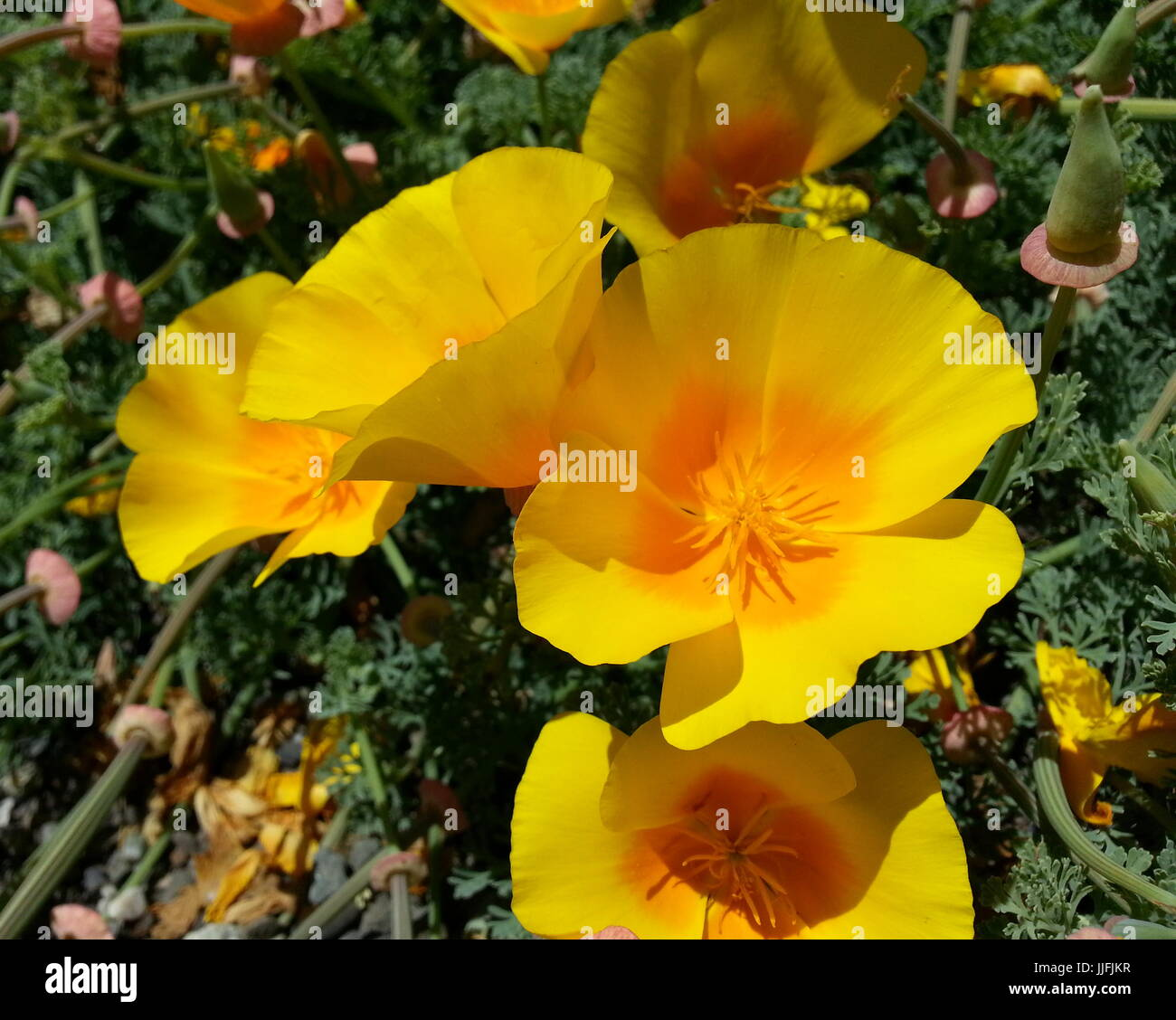 Close Up Of Yellow Poppies Stock Photo 149090699 Alamy