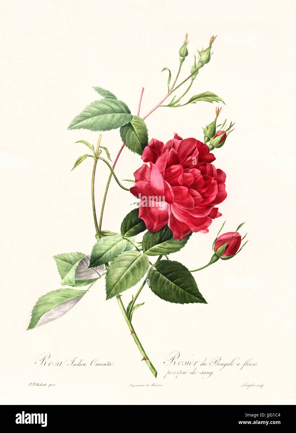 Old illustration of Rosa indica cuenta. Created by P. R. Redoute, published on Les Roses, Imp. Firmin Didot, Paris, - Stock Image