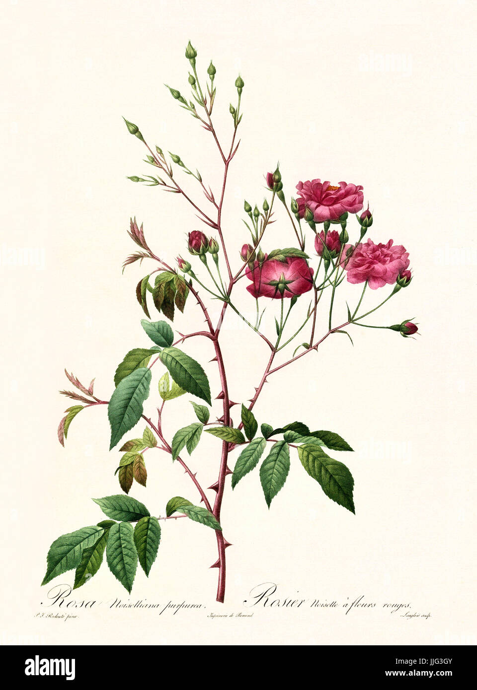 Old illustration of Rosa noisettiana purpurea. Created by P. R. Redoute, published on Les Roses, Imp. Firmin Didot, - Stock Image