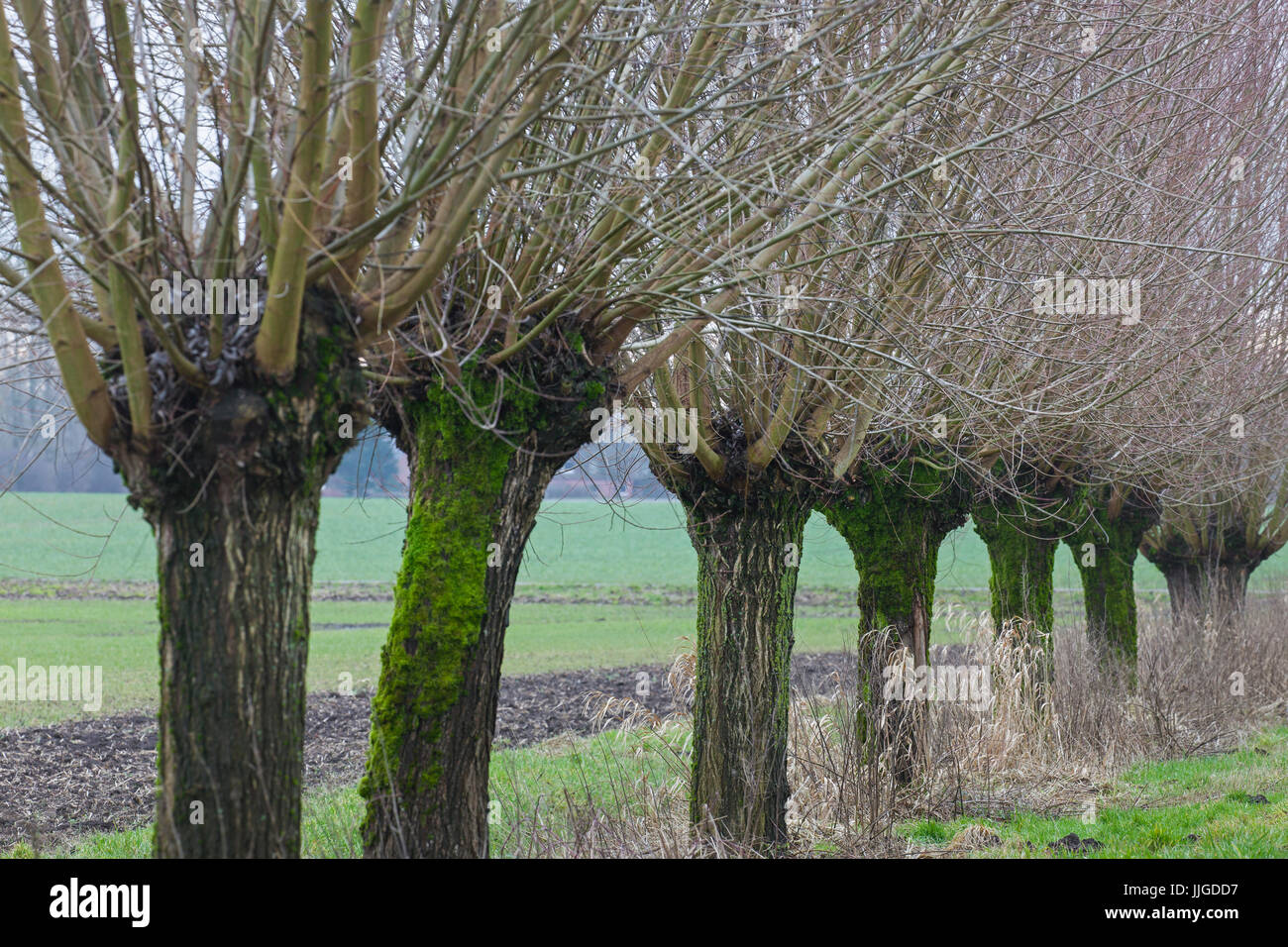 Row of pollarded white willows (Salix alba) bordering field in winter - Stock Image