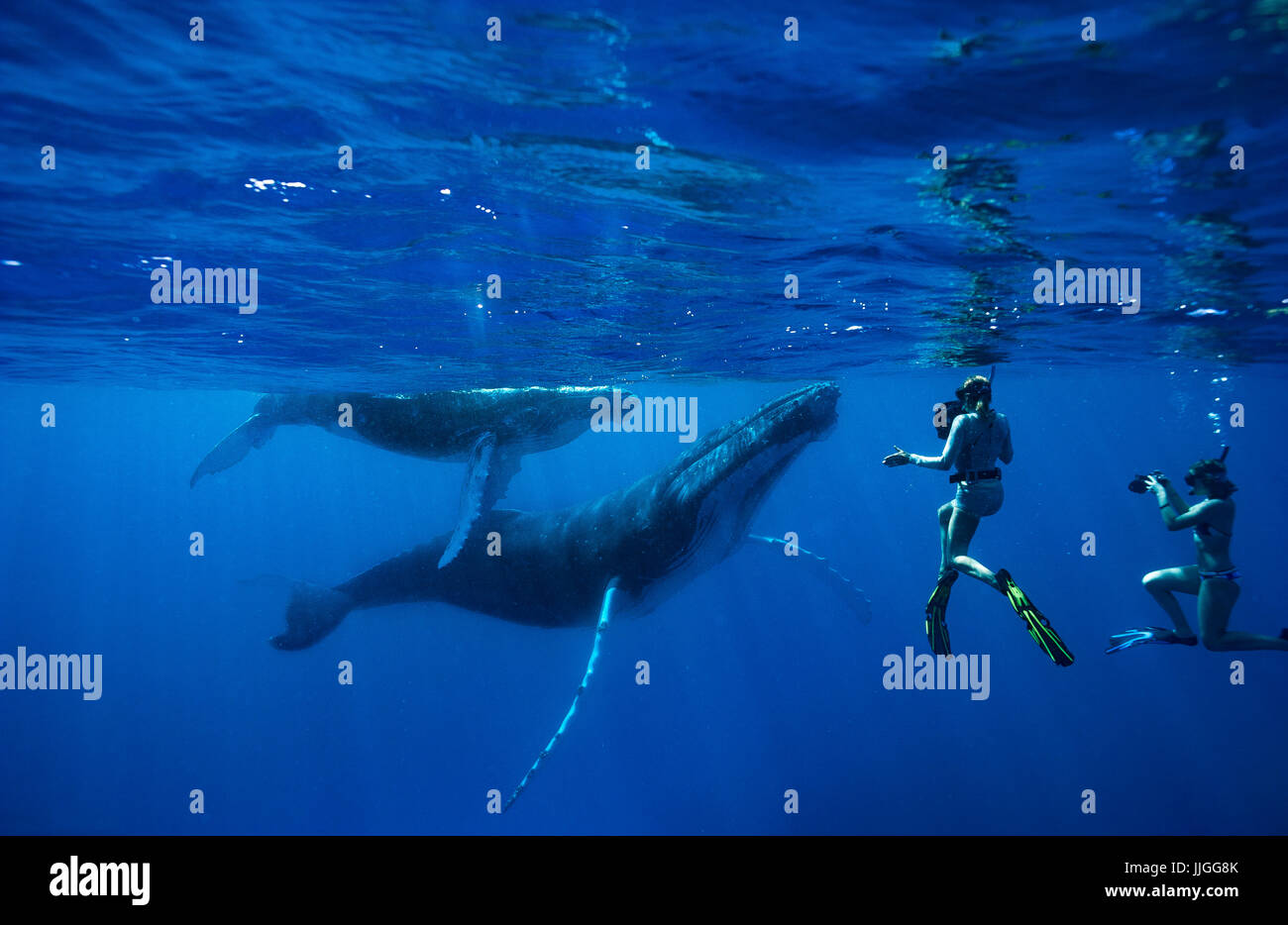 Snorkelers swimming with humpback whales in ocean, Kingdom of Tonga, Ha'apai Island group, Tonga - Stock Image