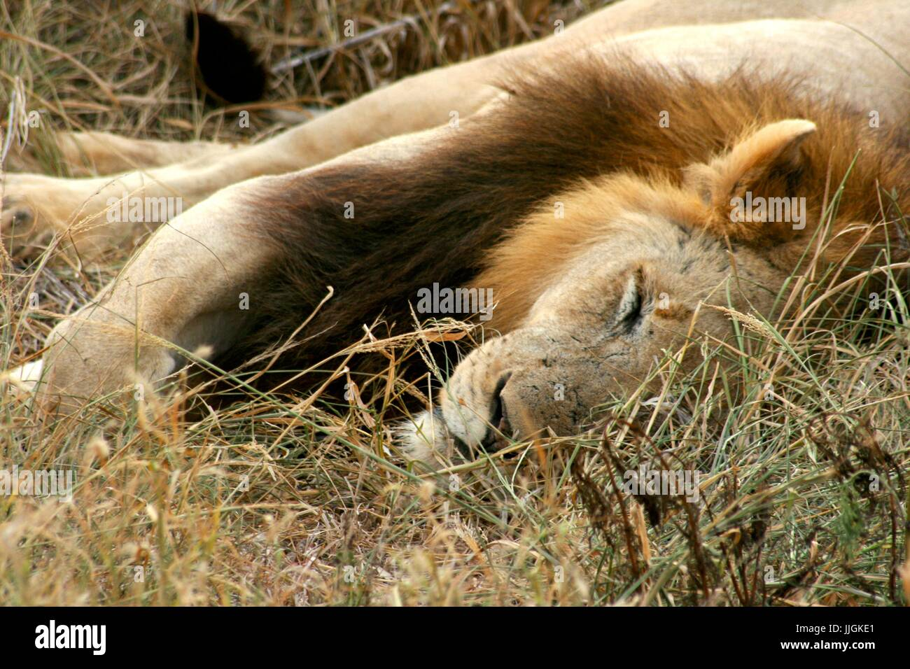 Sleeping lion camouflaged in the grass - Stock Image