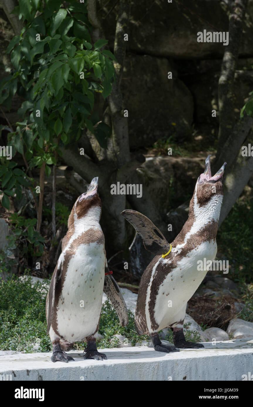 Humboldt Penguins Calling Stock Photo