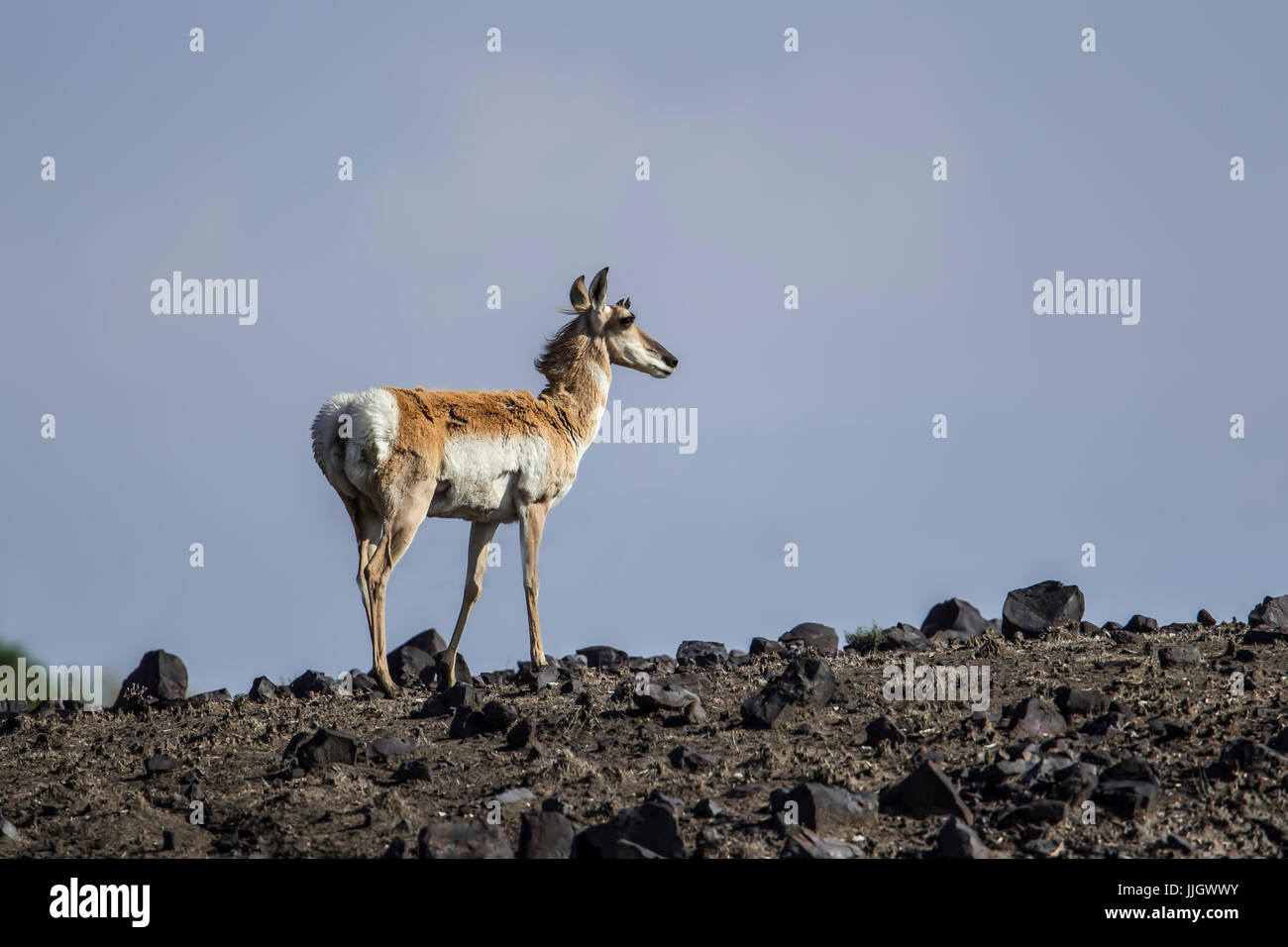 A pronghorn deer in the rocky grasslands of northeastern Wyoming. - Stock Image