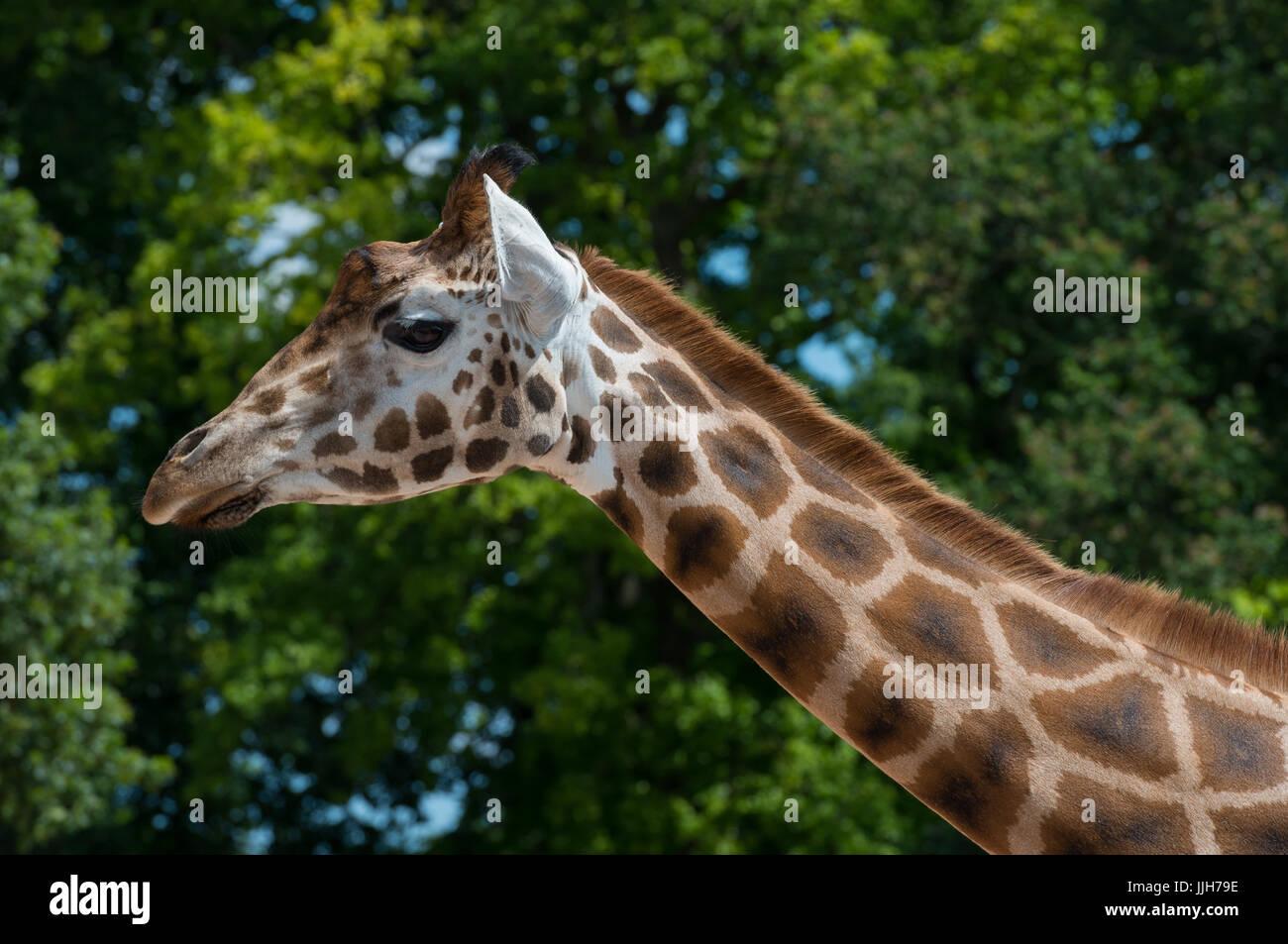 Giraffe - Stock Image