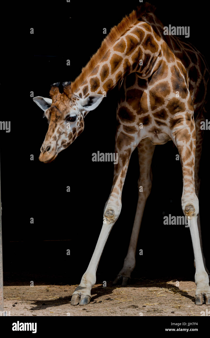 Giraffe with Black background - Stock Image