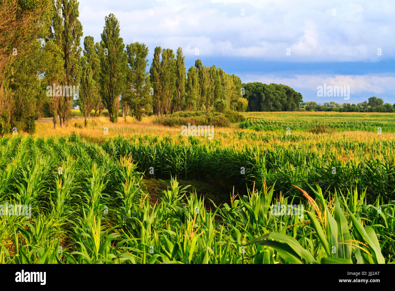 place where they grow ecologically pure corn,Agrocultura - Stock Image