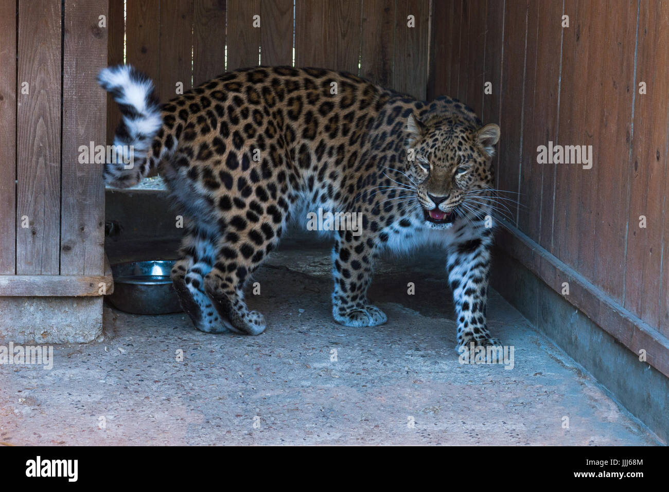 the far Eastern snow leopard at the zoo. - Stock Image