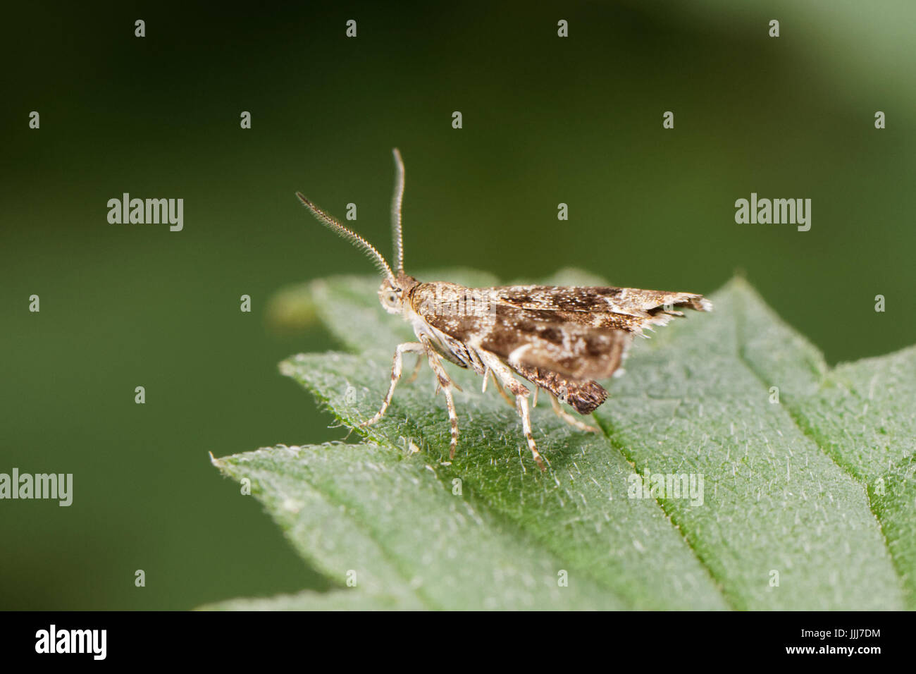A many plumed moth sitting on a leaf - Stock Image