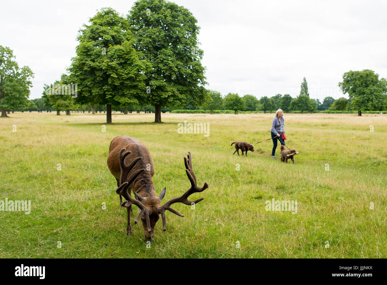 Richmond, London, UK - July 2017: Red Deer feeding on a grass meadow in Bushy park next to an old woman walking - Stock Image