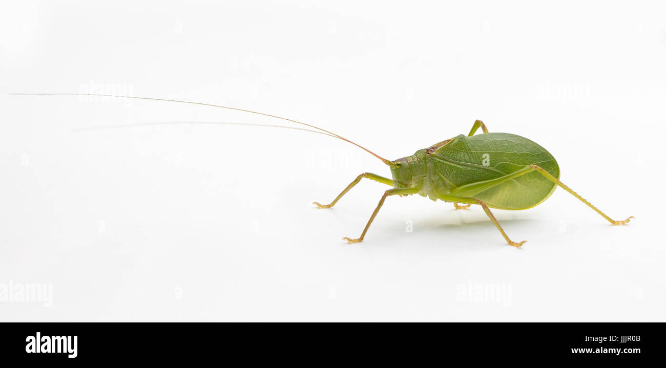 Side view of a Common True Katydid (Pterophylla camellifolia) on a white background - Stock Image