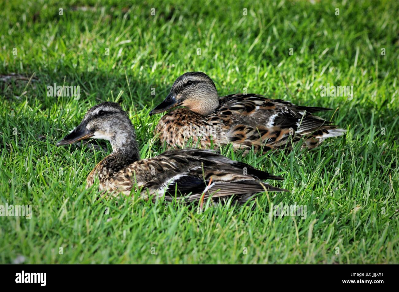 Mallard hens resting in the grass - Stock Image