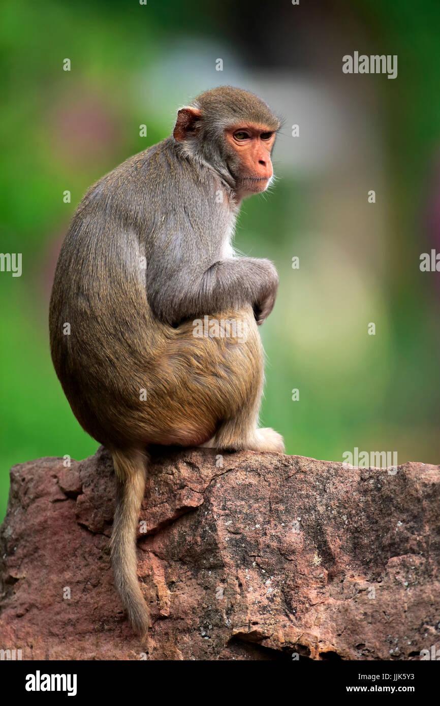 Rhesus monkey (Macaca mulatta), adult, sitting on rock, occurrence Asia Stock Photo