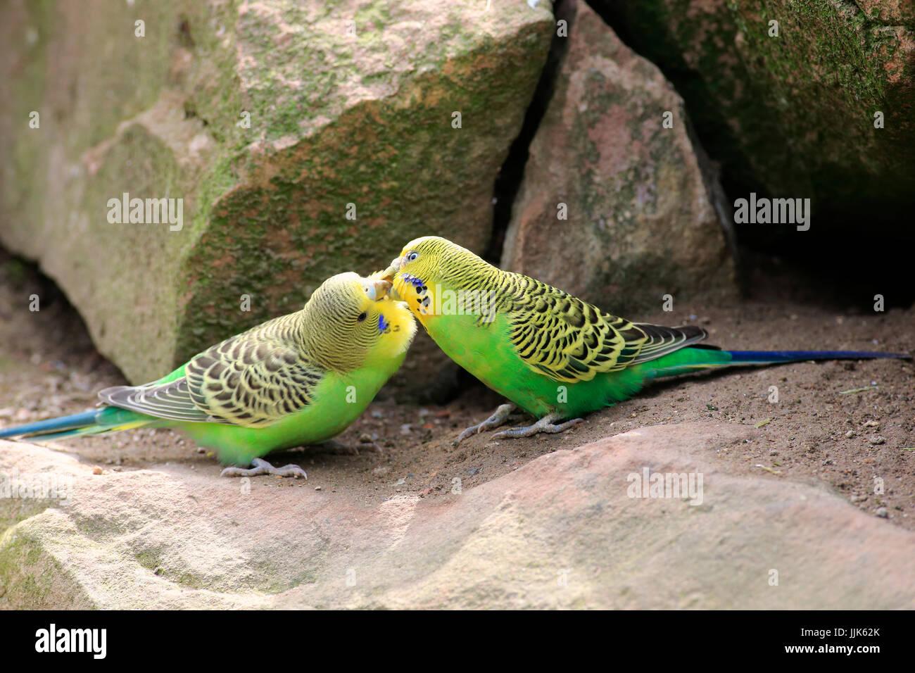 Budgies (Melopsittacus undulatus), two animals billing, social behavior, Australia - Stock Image
