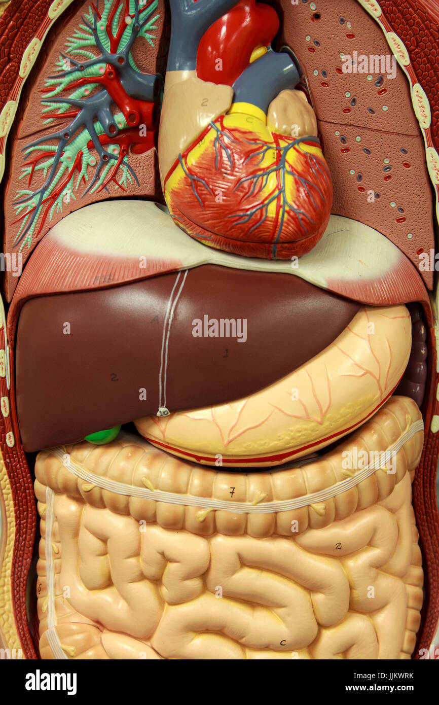 Anatomy Model of Human Internal Organs - Stock Image