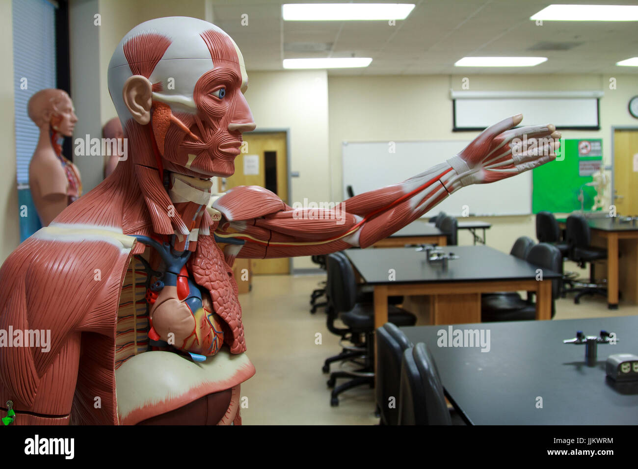 Anatomy Models in science medical school classroom - Stock Image