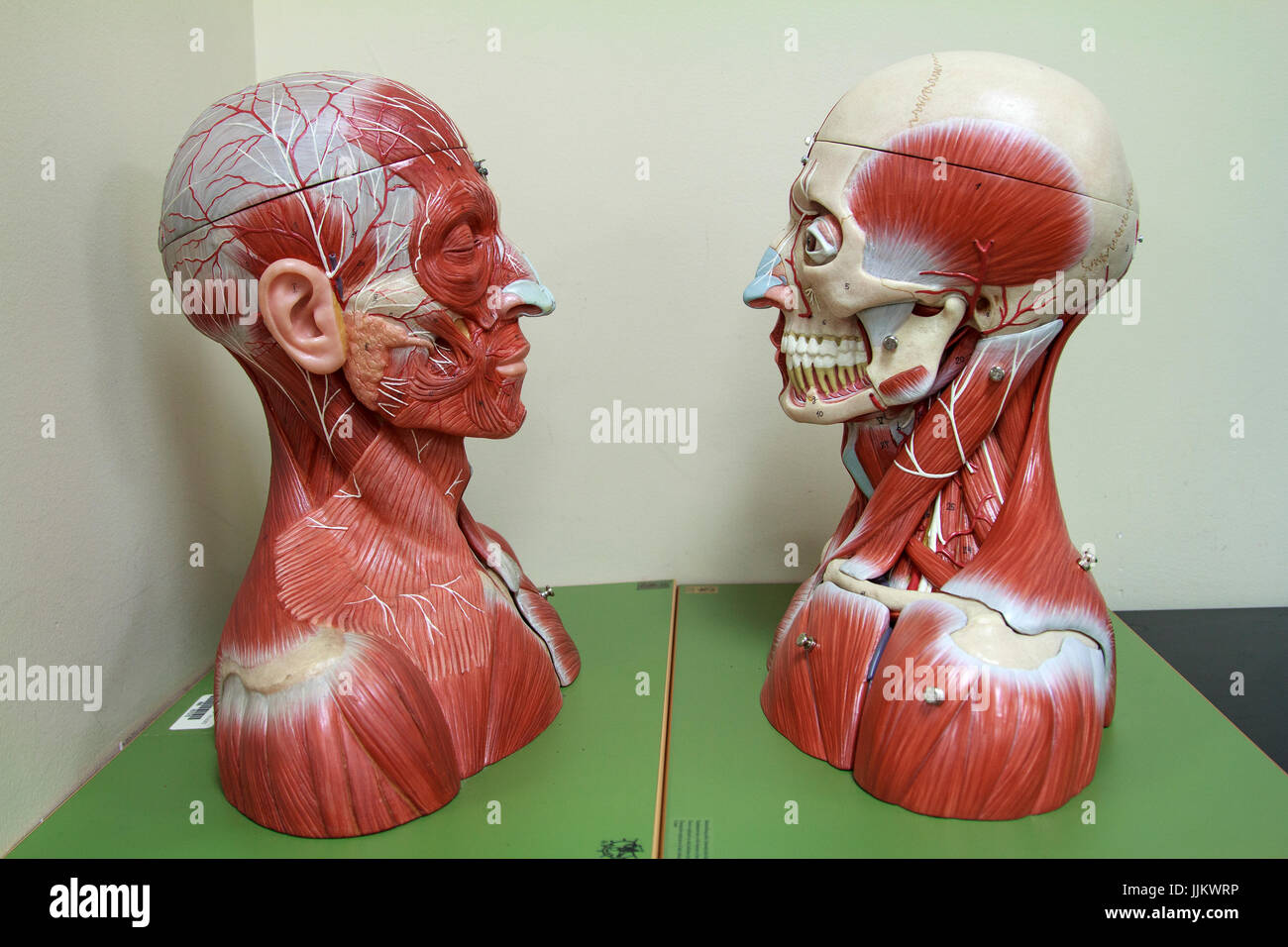 Two Anatomy Models of Head showing muscles - Stock Image
