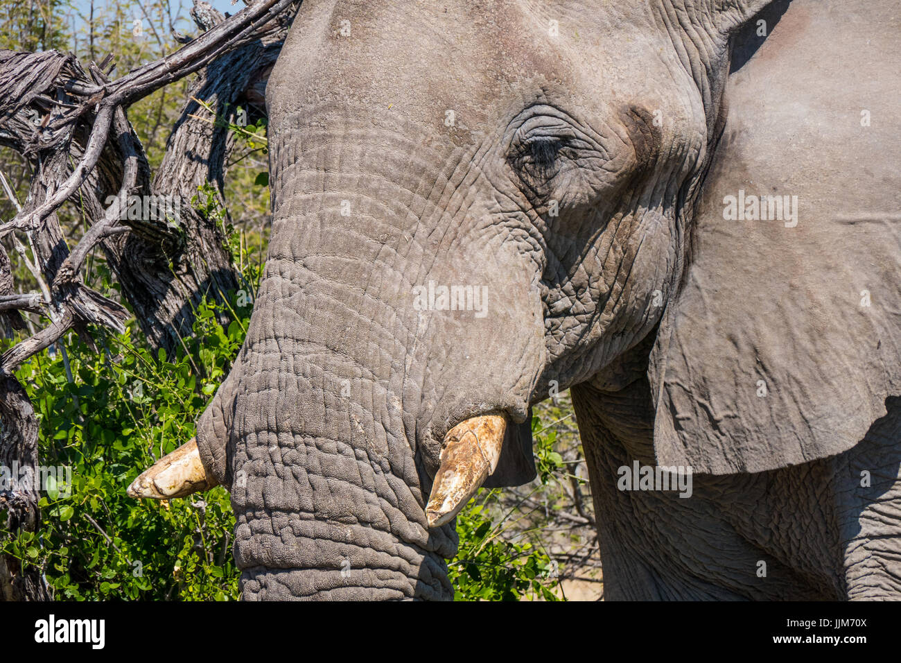 Elephant in Etosha National Park, Namibia, Africa - Stock Image