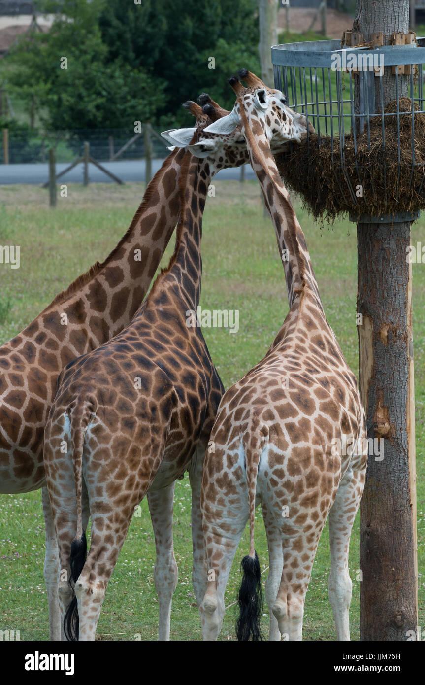 Giraffe in Captivity Stock Photo