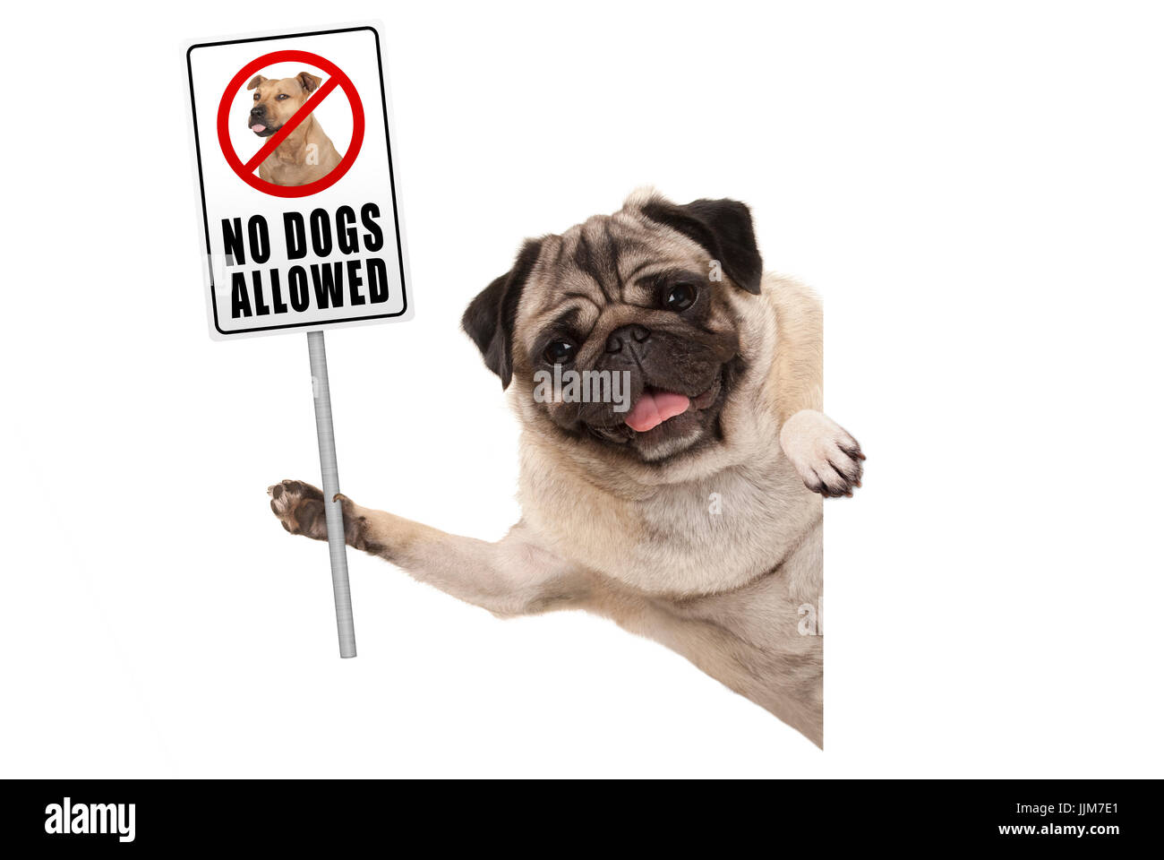 smiling pug puppy dog holding up prohibitory no dogs allowed sign, isolated on white background - Stock Image