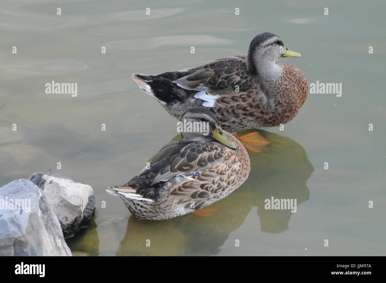 Mallard hens at Mirror Lake - Stock Image