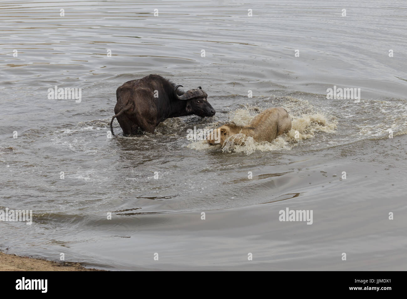A Water Buffalo S Desperate Attempt To Fight Off A Pride Of Ravenous Stock Photo Alamy Please find below many ways to say desperate attempt in different languages. https www alamy com stock photo a water buffalos desperate attempt to fight off a pride of ravenous 149196713 html