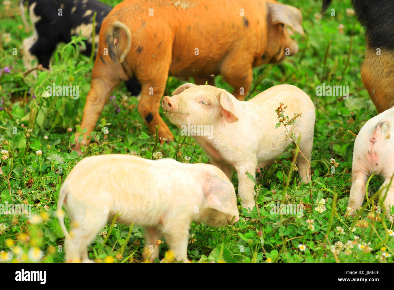 Cute piglets - Stock Image