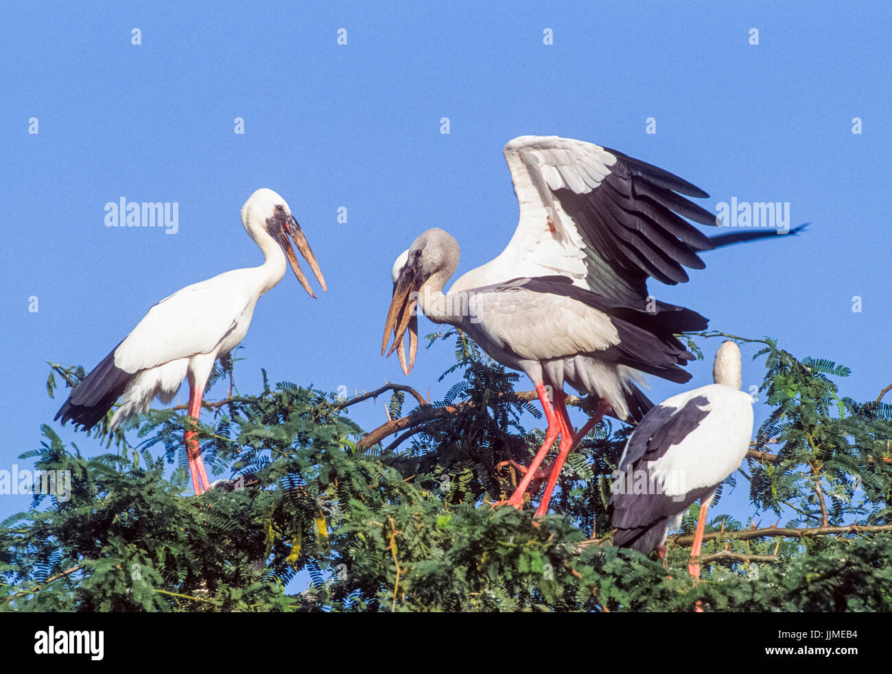 Asian Openbill or Asian Openbill stork, (Anastomus oscitans), Keoladeo Ghana National Park, Bharatpur, Rajasthan, - Stock Image