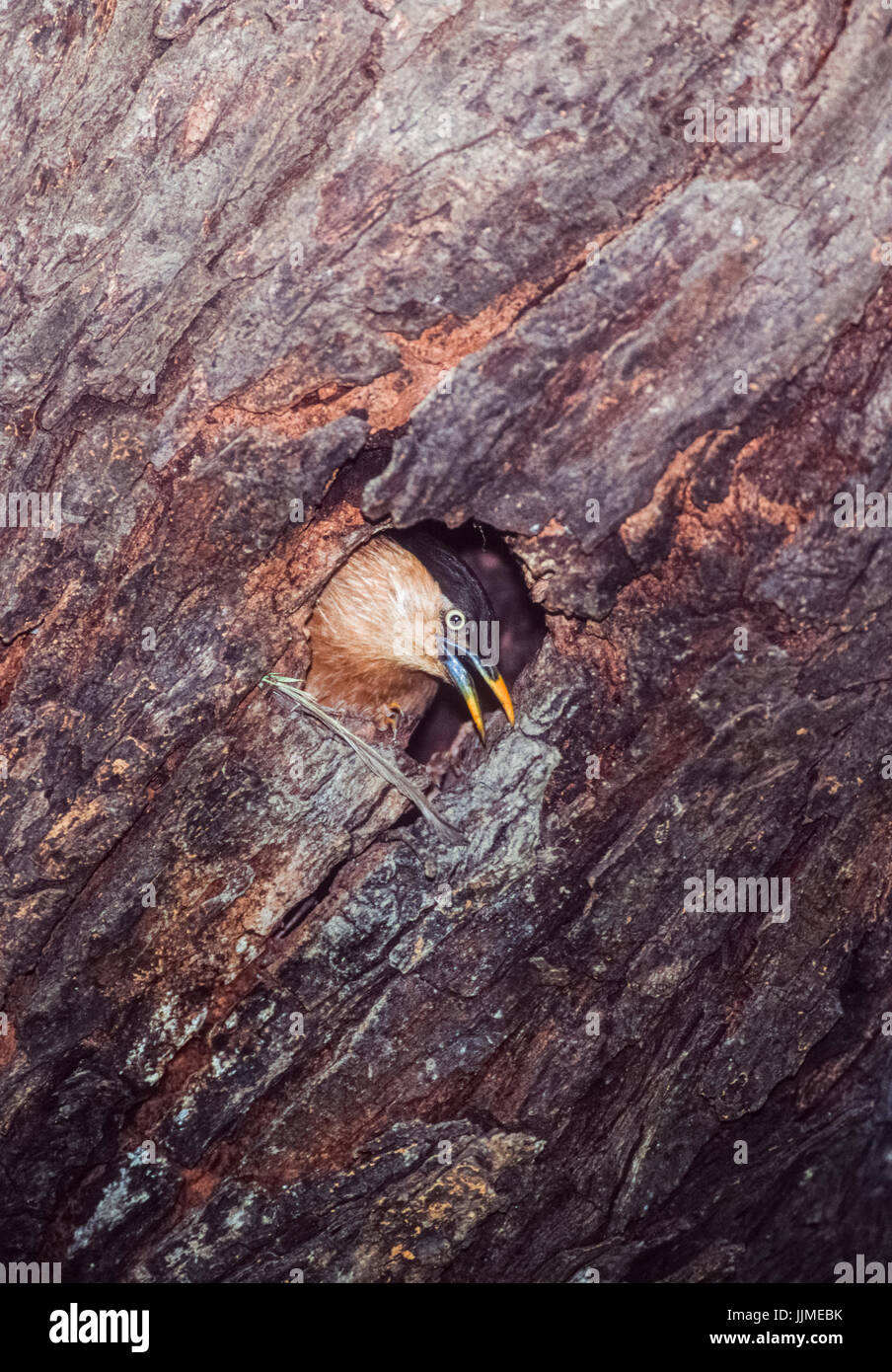 Brahminy Myna or Brahminy Starling, (Sturnia pagodarum), perrs out of nest hole,Keoladeo Ghana National Park, Bharatpur, - Stock Image