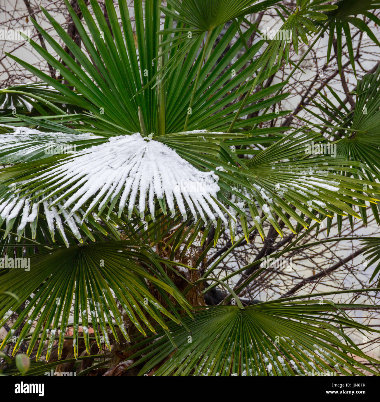 Detail of palm leaves covered by snow - Stock Image