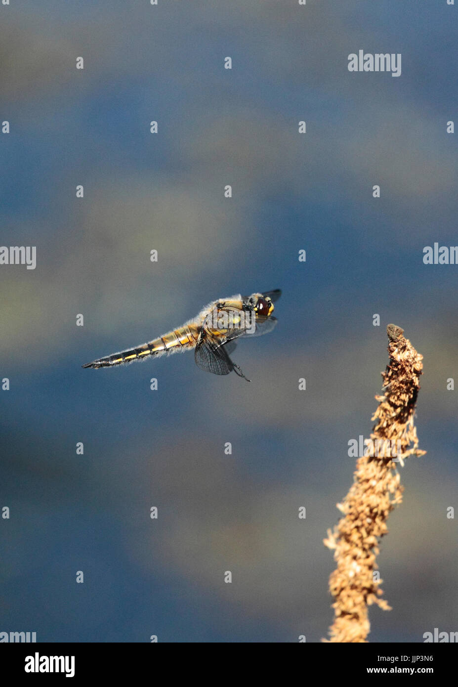 Four Spotted Chaser Dragonfly - Stock Image
