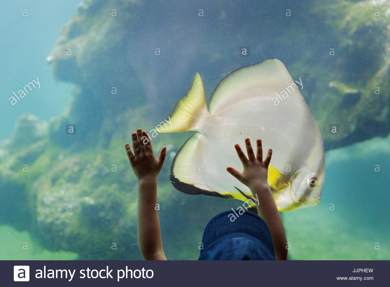 A child visiting an aquarium placing his hands on a large glass wall into a pool with marine life and a parrot fish. - Stock Image